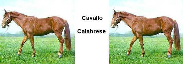 Cavallo Calabrese - Caballo Calabrés