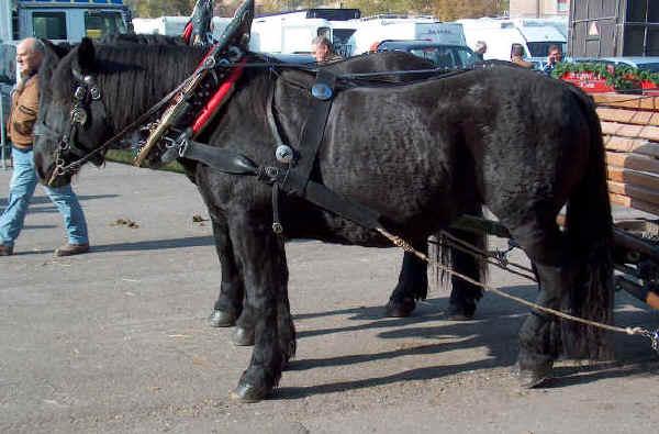 Razas italianas de caballos: Caballo Nórico o Noriker