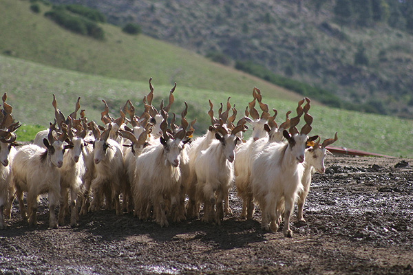 http://esp.agraria.org/cabras/girgentana1.jpg