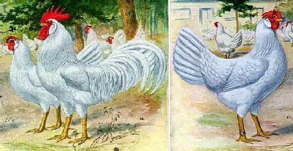 Ilustraciones estándar de la raza Livorno blanca